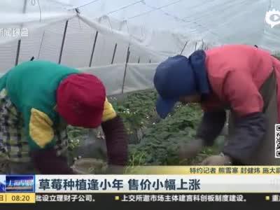 视频:草莓栽种逢小年 产量降低售价小幅上涨