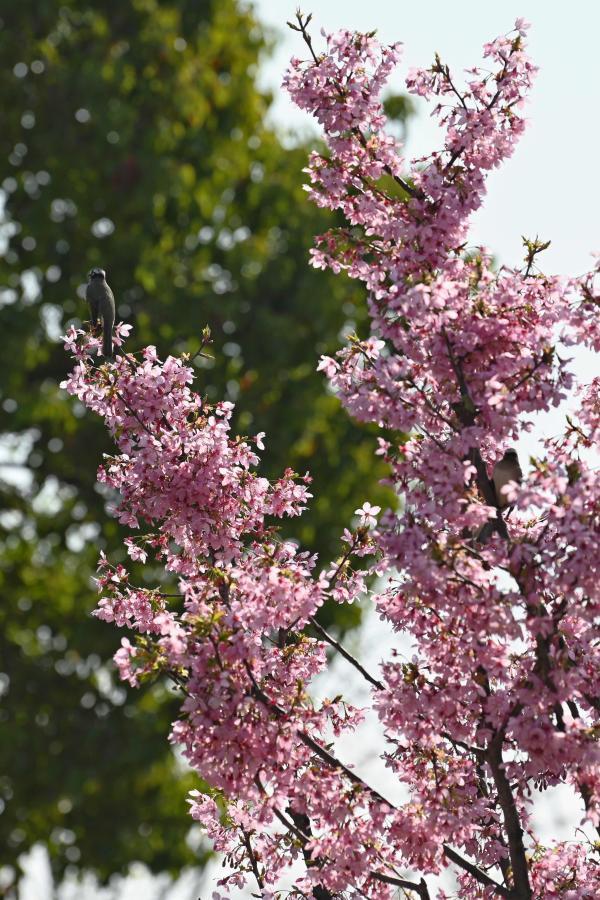 顧村公園內的櫻花