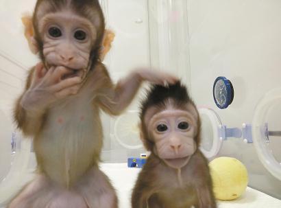 世界首批体细胞克隆猴中中(左)和华华。(资料)