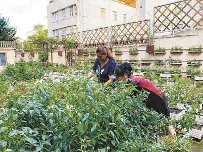 """梅陇三村""""绿主妇""""项目负责人和居民耕耘""""一平方米菜园""""。 舒抒 摄"""