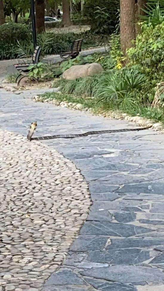 2.1米长眼镜王蛇惊现上海一小区已被处置 或为居民饲养