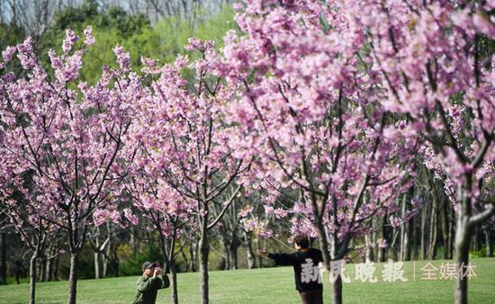 圖說:上海櫻花節后天在顧村公園拉開帷幕。新民晚報記者 陳夢澤 攝(下同)