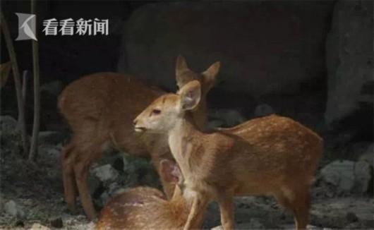 上海动物园豚鹿家族添三宝 国内3家动物园有豚鹿种群