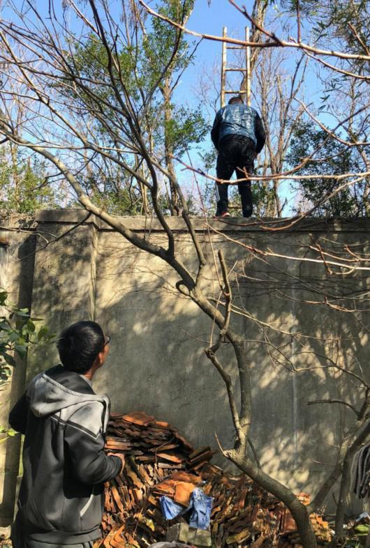 """刚送完人翻墙进入野生动物园,墙头的黑袖蓝袄男子正将一把长梯从围墙内抽出。左下角即司机""""眼镜""""。"""