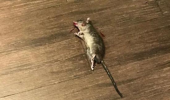 图说:赵先生一脚踩死了老鼠 来源/网友提供