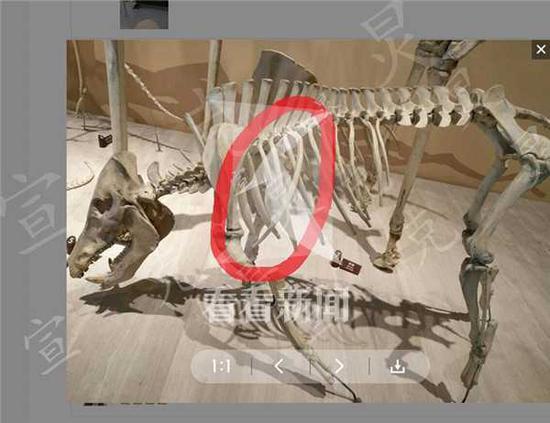 熊孩子碰歪自然博物馆野猪骨骼 馆方:已修复