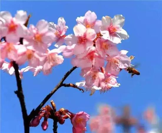 上海樱花节3月16日至4月15日举行 本月下旬将进盛花期
