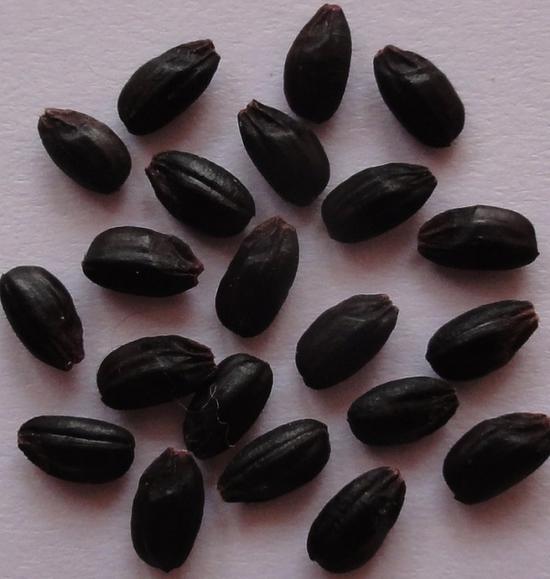 """图说:黑米巨胚粳稻""""上师大11号"""""""