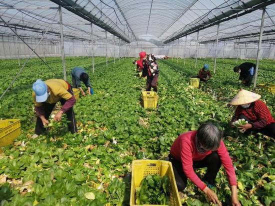 松丰蔬菜专业合作社正在收割蔬菜。松江区供图