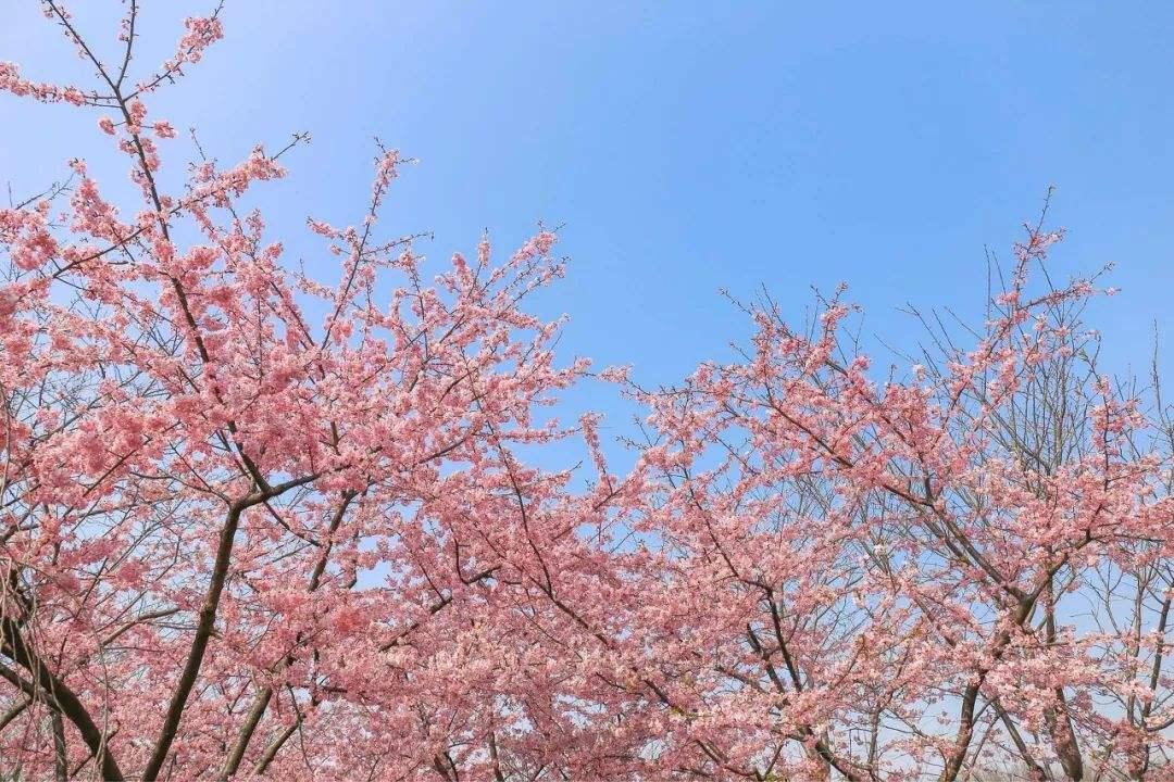 上海樱花节在顾村公园开幕 受天气影响本周末客流减少