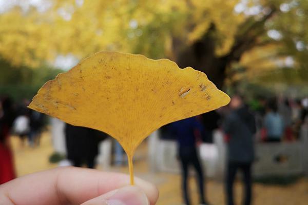上海第一古树树龄达1200年 当之无愧是上海银杏王
