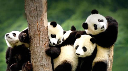 设在野生动物园的上海大熊猫保护研究基地