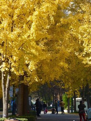 申城进入最美赏杏观叶季
