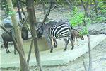 上海动物园尝试混养动物 模拟原生环境增进动物互动