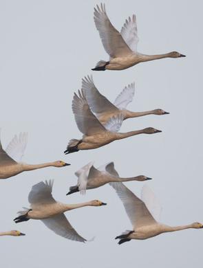 崇明东滩有了天鹅湖 珍稀鸟类频现身