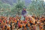 上海今年监测到5例人感染禽流感 散养鸡存风险