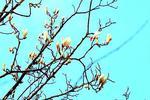 申城白玉兰提前报春 今日阳光回归周日最高温17℃