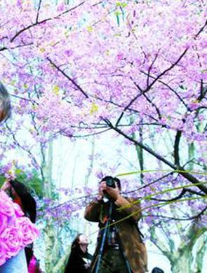 上海植物园早樱烂漫 市民游园观赏