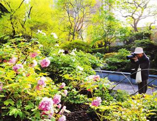牡丹节再度在中山公园开展