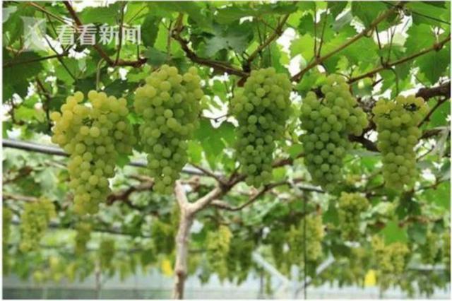 今年沪产水果总量预计达30万吨 夏季水果节月底举行