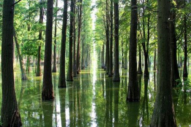 足不出户体验上海郊野公园 看漫天白鹭和水上杉林