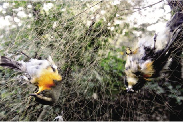 嘉定一男子高温天林中布网捕鸟 非法狩猎被批捕
