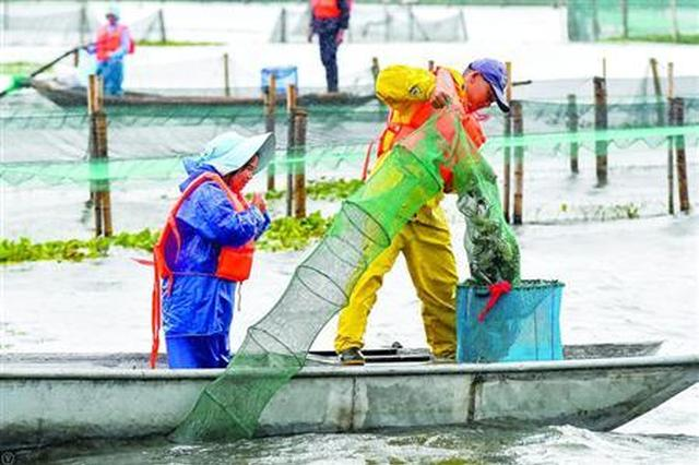 阳澄湖大闸蟹开捕:产量缩水品质提高 预计售价涨10%
