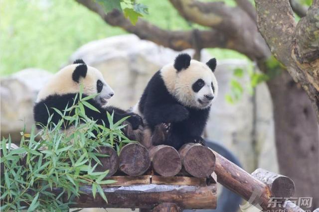 上海首对大熊猫龙凤胎迎周岁生日