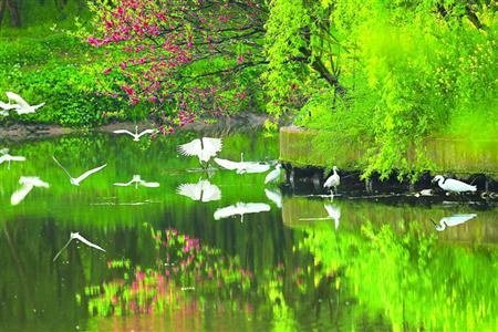 川沙新镇三灶浜的河道经过整治后,已能重见白鹭。 /晨报记者 李芹