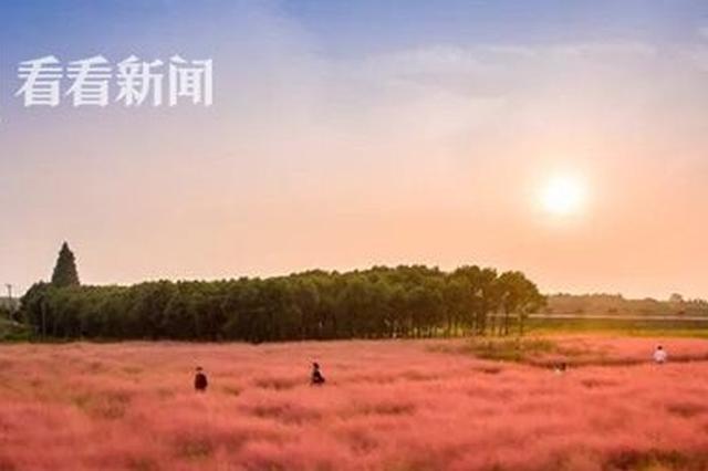 视频:上海中心城区现粉黛乱子草 如烟似纱美景如画