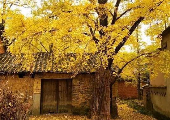 贵州妥乐银杏村