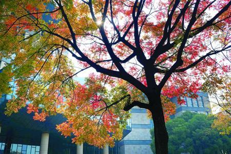 11月13日,名都路一排行道树逐渐变色,其中闵行区图书馆前的一棵行道树已满树飘红。随着早晚温差明显加大,上海街头绿叶树悄悄变色,一年中最美的季节来了。/晨报记者 任国强