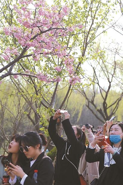 顾村公园樱花节游人如织。 (资料)