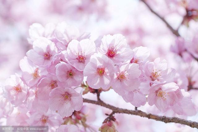 顾村公园樱花相继绽放 樱花节首日游客破1.2万