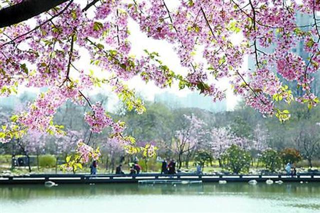 上海樱花节迎首个双休日 宝山交警提前做道路停车预案