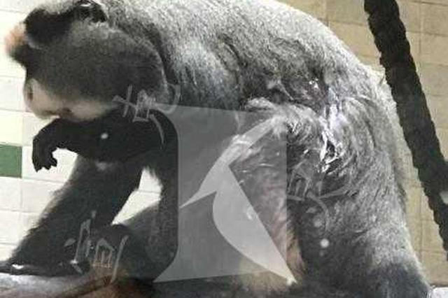 上海动物园内猴子受伤流血 园方:打架打的兽医已处理