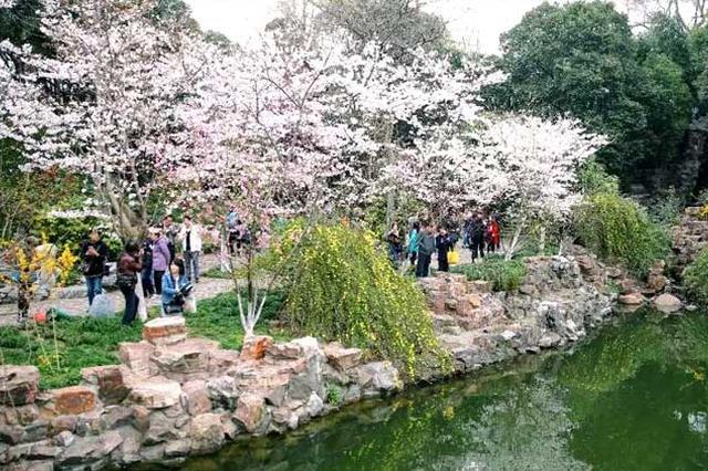 鲁迅公园樱花展揭幕 最全赏樱攻略出炉