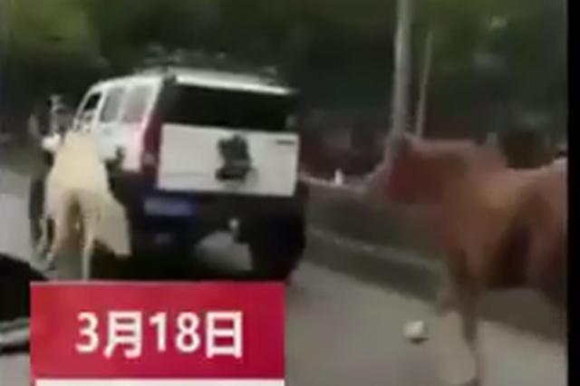 上海一驾驶员开悍马马路遛马引争议 警方已介入调查