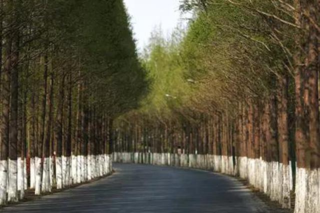 嘉定最美道路维修工程开启 夹道水杉森然林立