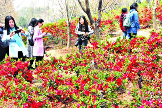 百年映山红亮相杜鹃花展 清明假期将迎来最佳观赏期