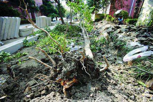 小区未得业主同意毁绿扩建停车位 十多年香樟树一夜不见