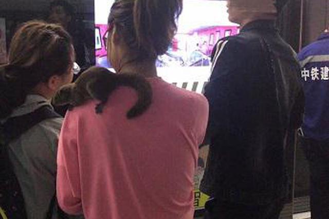 上海一女子携带松鼠坐地铁 松鼠趴在等车主人肩头