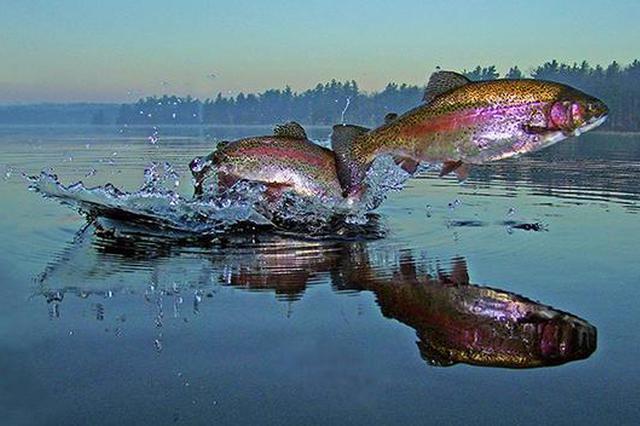 三文鱼遭遇身份危机:虹鳟混入后考虑改称海产大西洋鲑