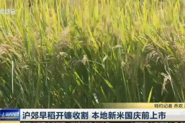 视频:沪郊早稻开镰收割 本地新米国庆前上市