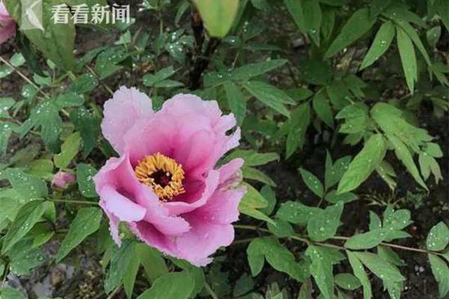 上海植物园牡丹园计划改造 景观功能将全面提升