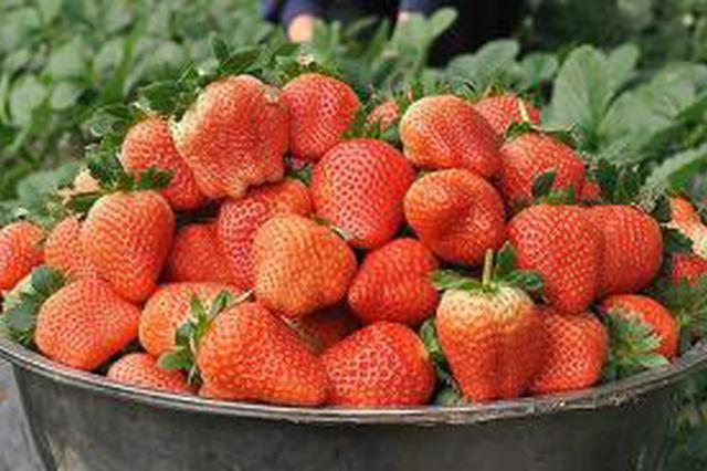 上海地产草莓本周起上市 价格较往年上涨最贵80元一斤