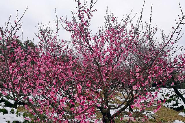 第六届上海梅花节2月23日开幕 打造三条赏梅路线