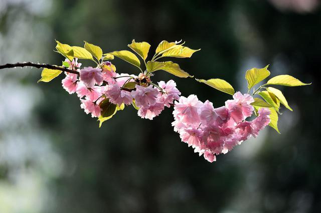申城公园内第一批樱花提前开放 较往年提前半个多月