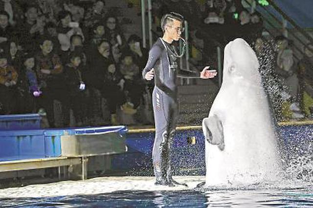 上海白鲸姐妹将回归海洋 表演馆闭馆被称最有价值闭馆