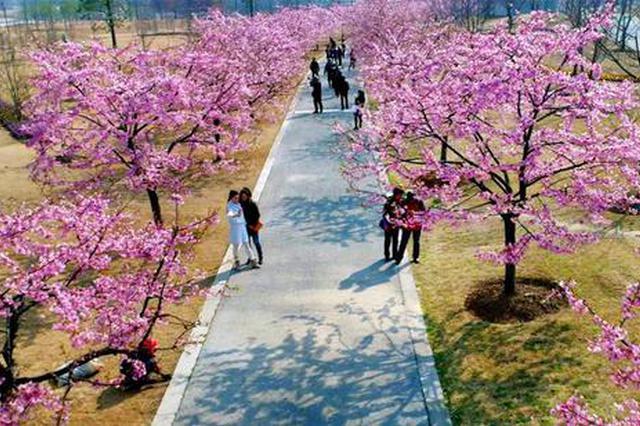 上海第二波早樱开放正盛 李梅杏樱辨花攻略一览
